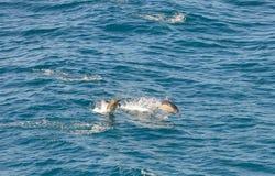 Delfini che nuotano nell'Atlantico Meridionale Fotografia Stock Libera da Diritti