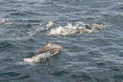 Delfini che nuotano, Sri Lanka Fotografie Stock Libere da Diritti