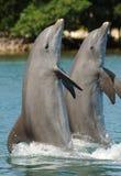 Delfini che si levano in piedi sulle code Immagini Stock