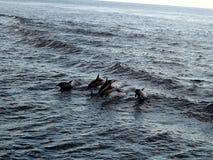 Delfini che volano attraverso l'aria Immagine Stock
