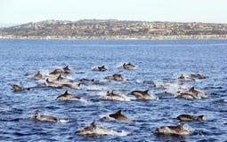 Delfini comuni fuori da San Diego Fotografia Stock