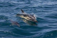 Delfini comuni selvaggi immagini stock