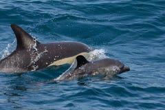 Delfini comuni selvaggi fotografia stock
