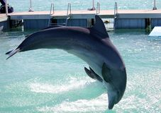 Delfini in Cuba Acrobatica dei delfini in un parco dell'acqua fotografia stock