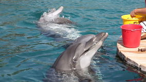 Delfini d'alimentazione stock footage