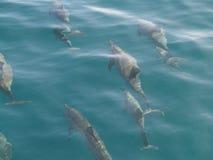 Delfini del filatore Immagini Stock Libere da Diritti