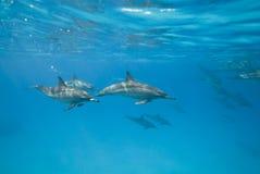 Delfini del filatore di nuoto nel selvaggio. Immagini Stock Libere da Diritti