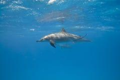 Delfini del filatore nel selvaggio. Immagini Stock
