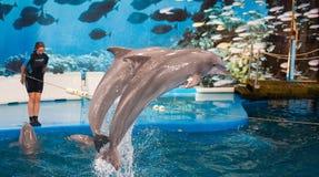 Delfini del ND dell'istruttore che eseguono in Dolphinarium Immagini Stock Libere da Diritti