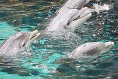 Delfini di Bottle-nose immagine stock