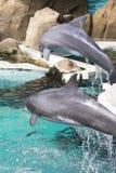 Delfini di Bottle-nose Fotografie Stock Libere da Diritti