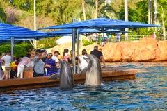Delfini di Bottlenose che saltano a Seaworld nell'area internazionale 2 dell'azionamento immagine stock
