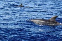 Delfini di Bottlenose che viaggiano nel gruppo Fotografia Stock