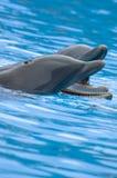 Delfini di Bottlenose di fischio Immagine Stock