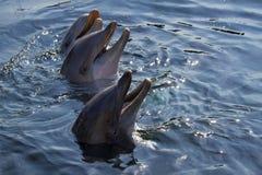 Delfini di Bottlenose o truncatus del Tursiops Immagini Stock