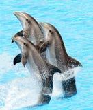 delfini di bottlenose (Turisops Truncatus) Immagine Stock
