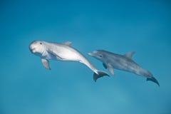 Delfini di Bottlenosed Immagini Stock Libere da Diritti