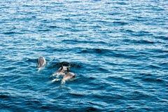 Delfini di California del sud Fotografie Stock Libere da Diritti