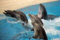 Delfini di dancing Immagini Stock