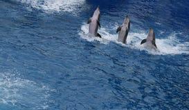 Delfini di dancing Immagine Stock Libera da Diritti