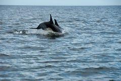 Delfini di immersione subacquea Fotografie Stock