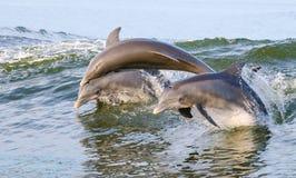Delfini di salto Immagine Stock