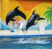 Delfini di salto Immagine Stock Libera da Diritti