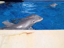 Delfini in Florida Fotografie Stock