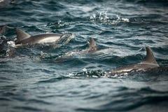 Delfini lungo la costa Immagini Stock Libere da Diritti