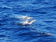 Delfini macchiati atlantici Fotografia Stock