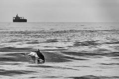 Delfini mentre saltando nel mare blu profondo Immagine Stock