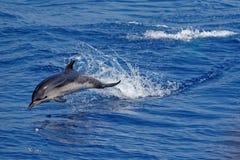 Delfini nel golfo di Genova fotografia stock libera da diritti