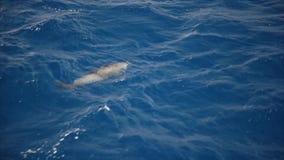 Delfini nel mare video d archivio