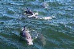 Delfini nel porto Aransas il Texas dell'oceano Fotografia Stock Libera da Diritti