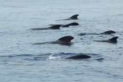 Delfini nell'acqua Fotografie Stock