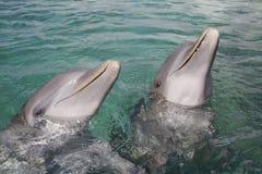 Delfini nell'Honduras fotografie stock