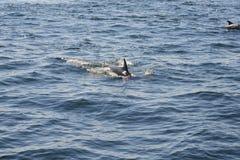 Delfini nell'oceano Fotografia Stock Libera da Diritti