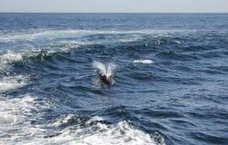 Delfini nell'oceano Fotografia Stock