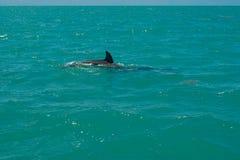 """Delfini nella biosfera di Sian Ka """" fotografie stock"""