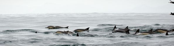 Delfini, nuotanti nell'oceano fotografia stock