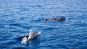 Delfini in oceano aperto Fotografia Stock Libera da Diritti
