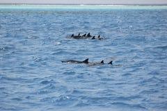 Delfini in Oceano Indiano nel mare delle Maldive Fotografia Stock