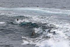 Delfini in onde fotografia stock libera da diritti