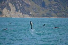 Delfini oscuri in Kaikoura, Nuova Zelanda Fotografia Stock Libera da Diritti