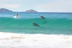 Delfini praticanti il surfing Fotografie Stock Libere da Diritti
