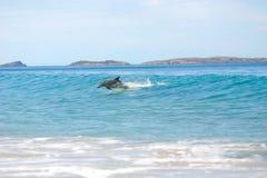 Delfini praticanti il surfing immagine stock