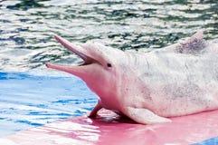 Delfini rosa Fotografia Stock Libera da Diritti