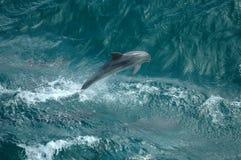 Delfini selvaggi Fotografie Stock