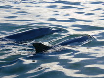 Delfini selvaggi alla baia dello squalo in Australia occidentale Immagine Stock Libera da Diritti