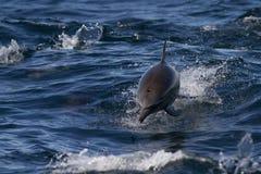 Delfini selvaggi in mare Fotografie Stock